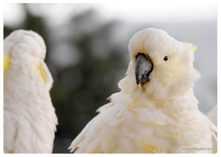 Sydney - Manly Cockatoos 1