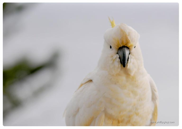 Sydney - Manly Cockatoos 2