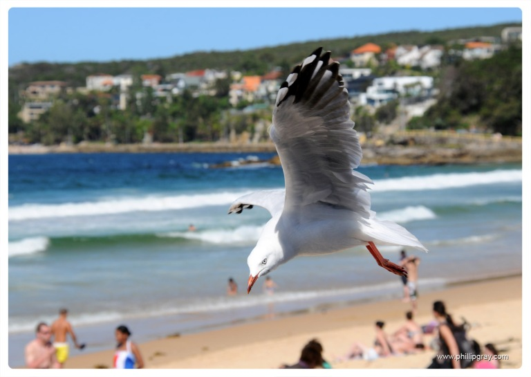 Sydney - Manly Seagull1