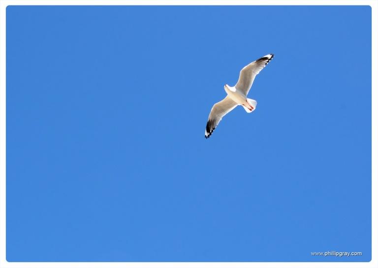 Sydney - Manly Seagull2