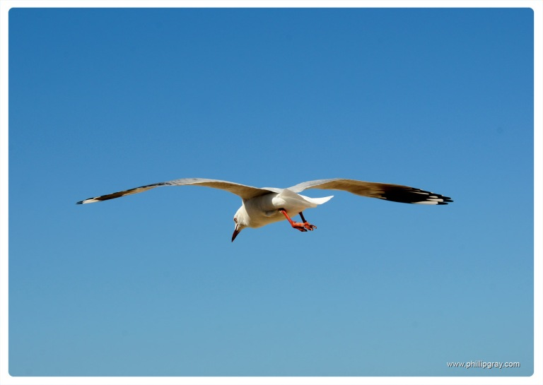 Sydney - Manly Seagull3