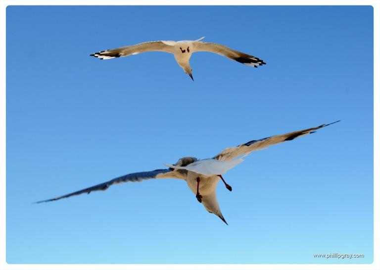 Sydney - Manly Seagull4