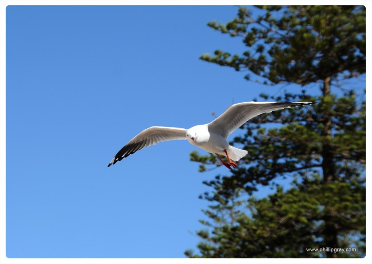 Sydney - Manly Seagull5