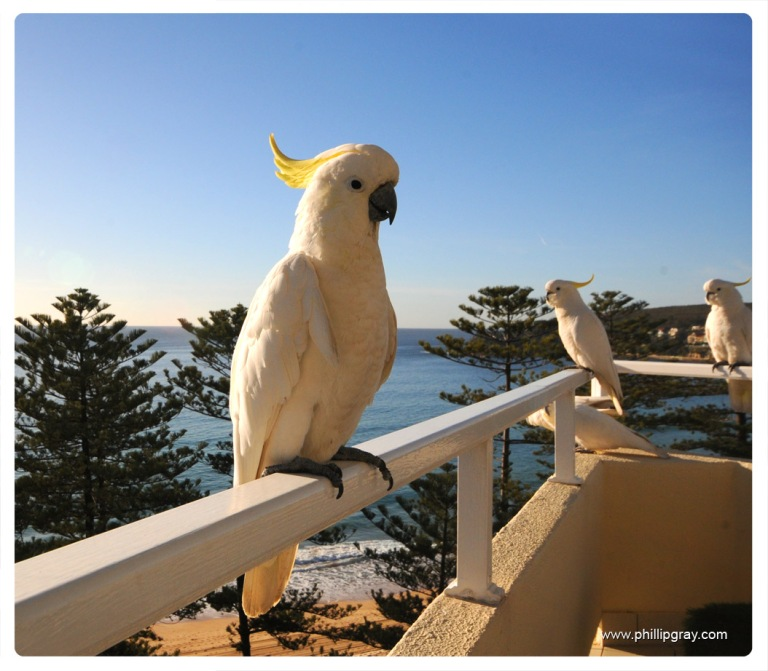 Sydney - Manly Cockatoos1