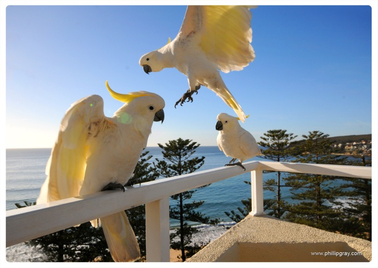 Sydney - Manly Cockatoos2